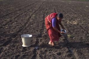 GM seed watering