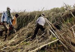 betel vines demolished in orissa posco