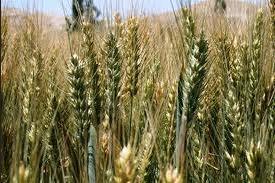 nalanda crop