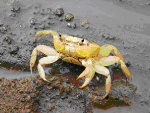 Halley's blog crab