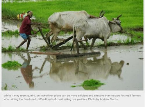 bullock power for contructing rice paddies