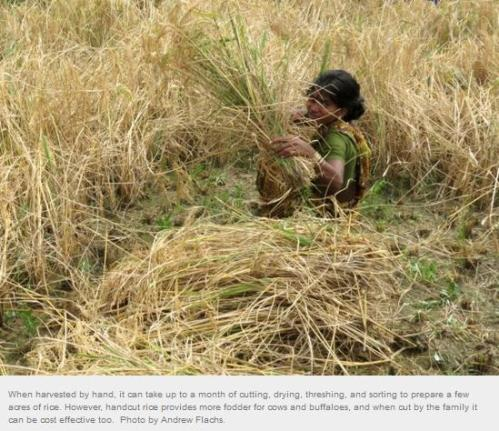 hand harvesting rice