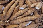 CHS cassava