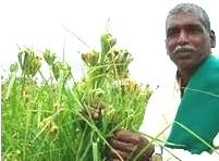 seed saver millet