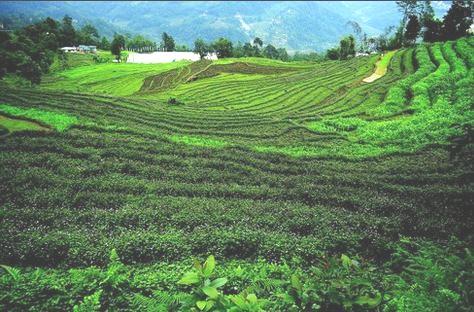 sikkim organic crops