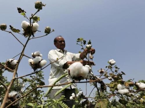 india cotton picking