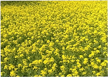 field-trial-gm-mustard
